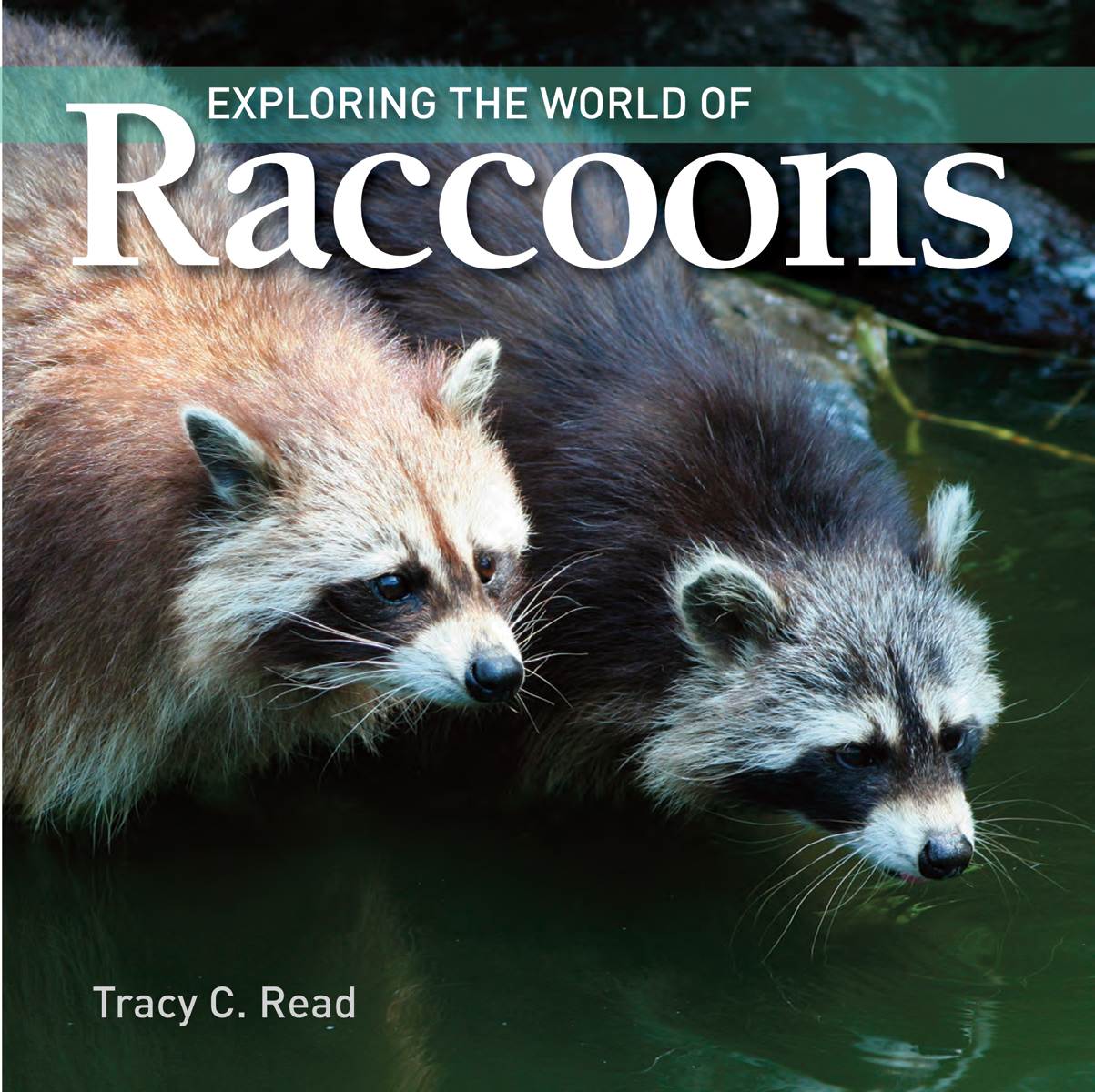 Exploring the World of Raccoons | Documentary